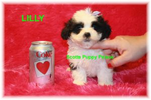 imperial teacup shih tzu puppies for sale