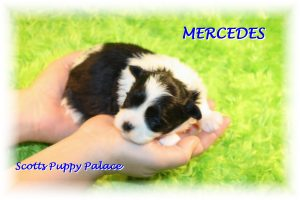 teacup shih tzu puppies for sale near me