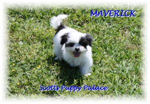 teacup shih tzu puppies for sale